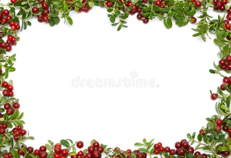 рамка cowberry стоковые фото
