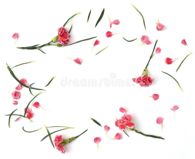 Рамки от цветков гвоздики на белой предпосылке стоковые изображения rf