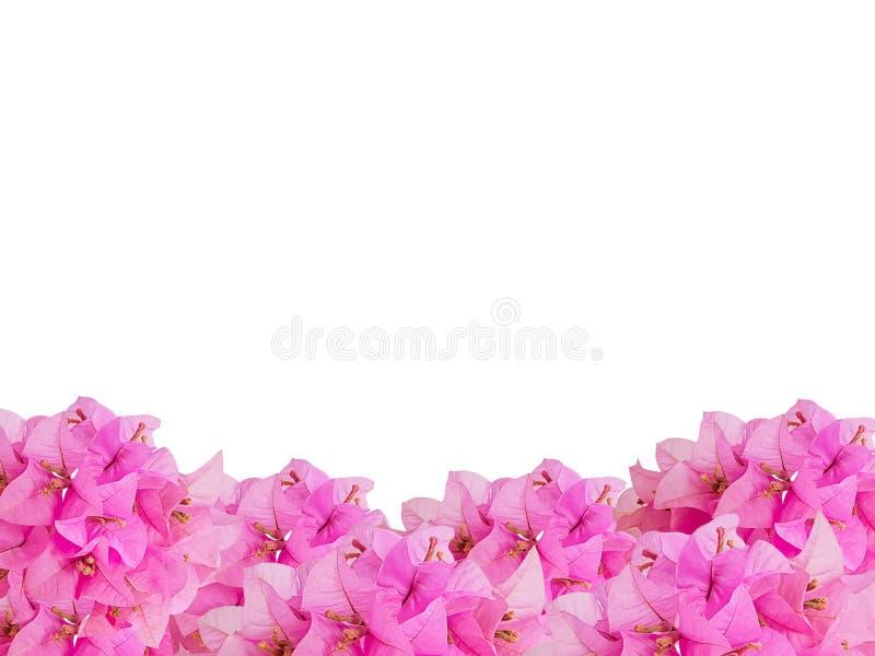 Рамки розовых цветков Bouginvillea букета стоковое фото rf