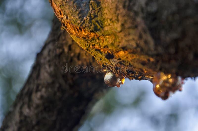 Раненые ветвь и смола дерева стоковое фото rf