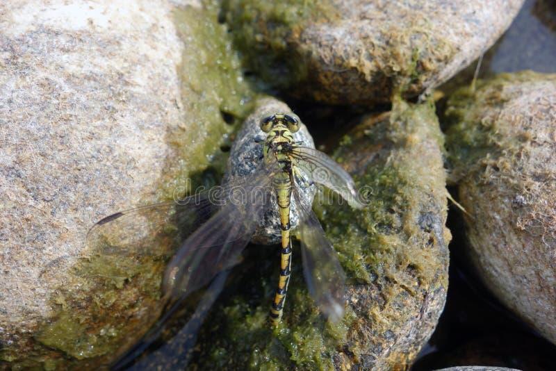Раненый dragonfly на утесах реки стоковая фотография