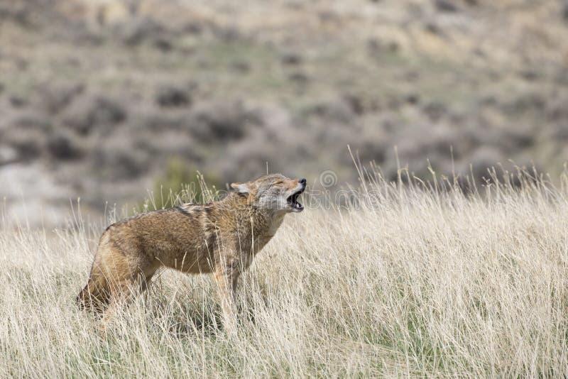 Рано утром вопль койотом стоковая фотография rf