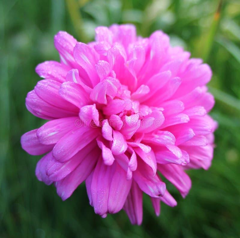 Рано утром падения росы на розовом цветке стоковая фотография rf