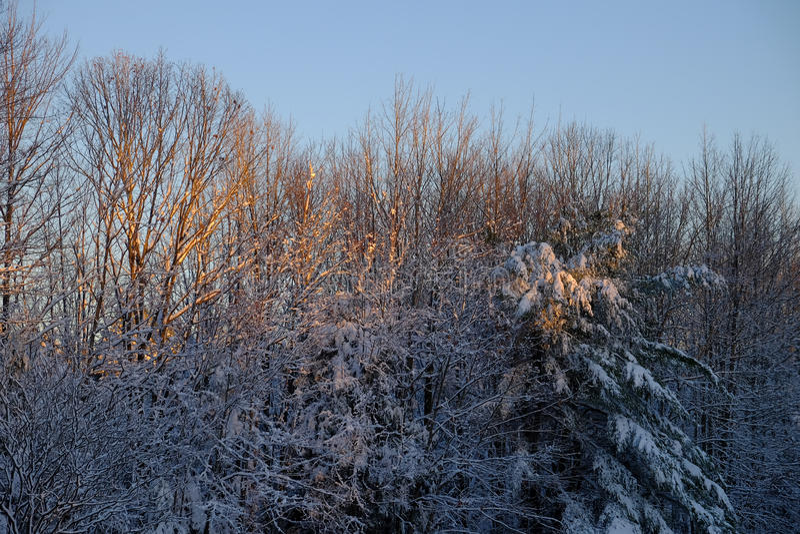 Рано утром солнечный свет освещает вверх свежим суки покрытые снегом o стоковые изображения rf
