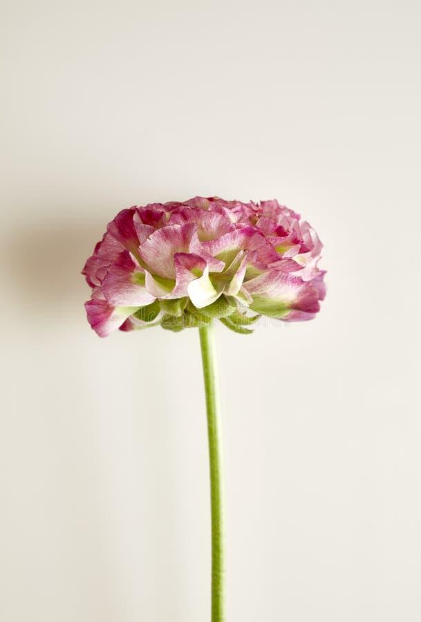 Ранункул_розовый и зеленый стоковые фото