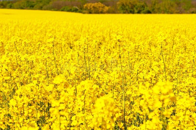 рапсы изображения oilseed стоковая фотография rf