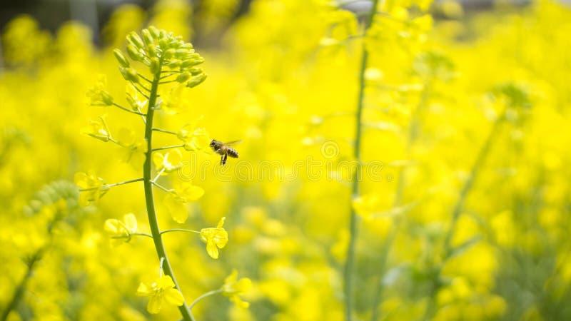 Рапс очень сочный, пчела собирая мед стоковое фото