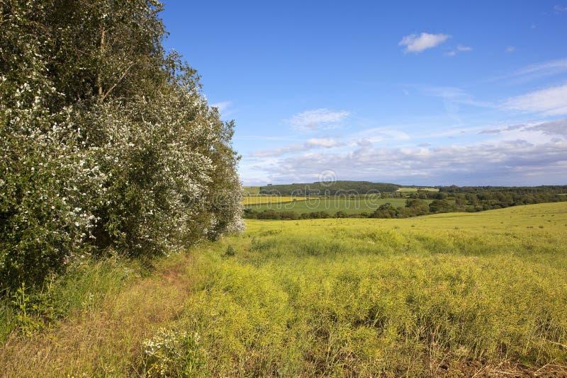 Рапс семени масличной культуры и деревья тополя стоковые изображения rf
