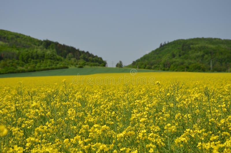 Рапс семени масличной культуры стоковое фото rf