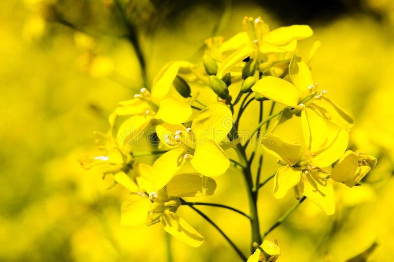 рапс цветений стоковые фото