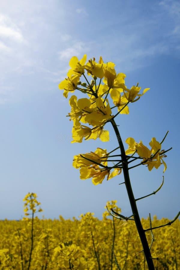 рапс цветков стоковое изображение rf