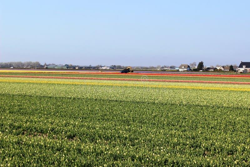 Раскосные строки красочных тюльпанов в красной и розовом в ландшафте с полем цветка на заднем плане около Амстердама внутри стоковое фото