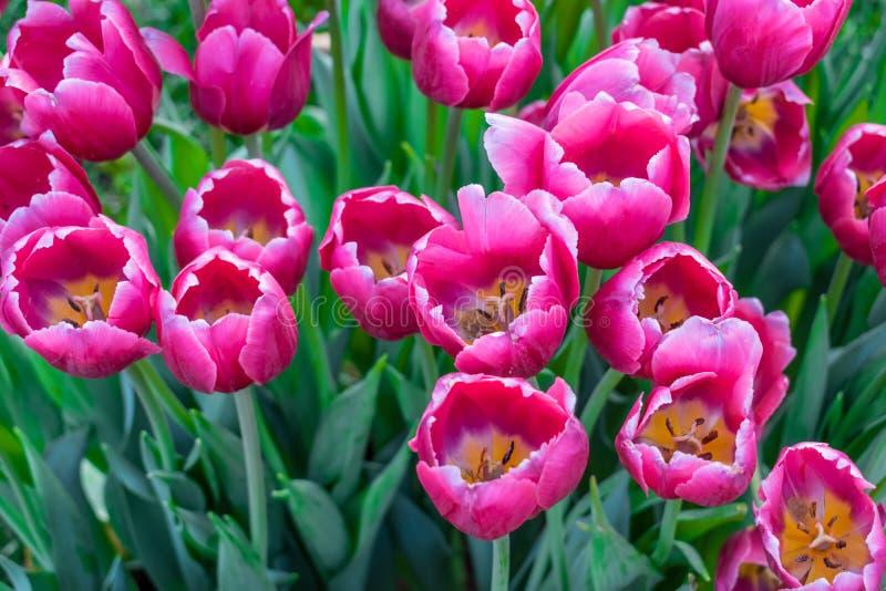 Раскройте розовые фиолетовые тюльпаны и листья зеленого цвета стоковое изображение