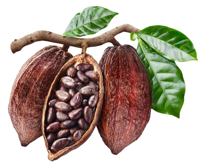 Раскройте стручок какао с семенами какао который висит от ветви стоковое фото