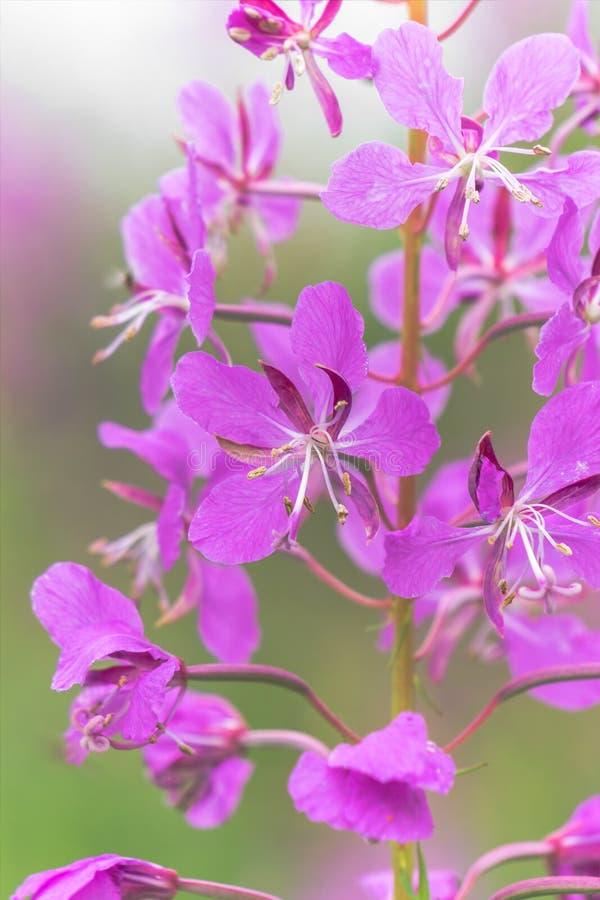 Раскройте чай вербы цветка стоковые изображения