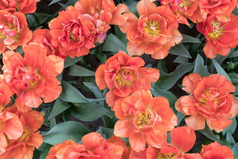 Раскрытые цветки оранжевых тюльпанов Terry с желтым stamensagainst предпосылка темн-зеленых листьев стоковые фотографии rf