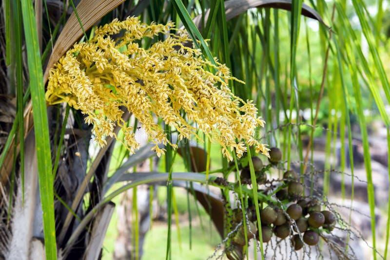Раскрытые цветок и плодоовощи масличной пальмы стоковое фото