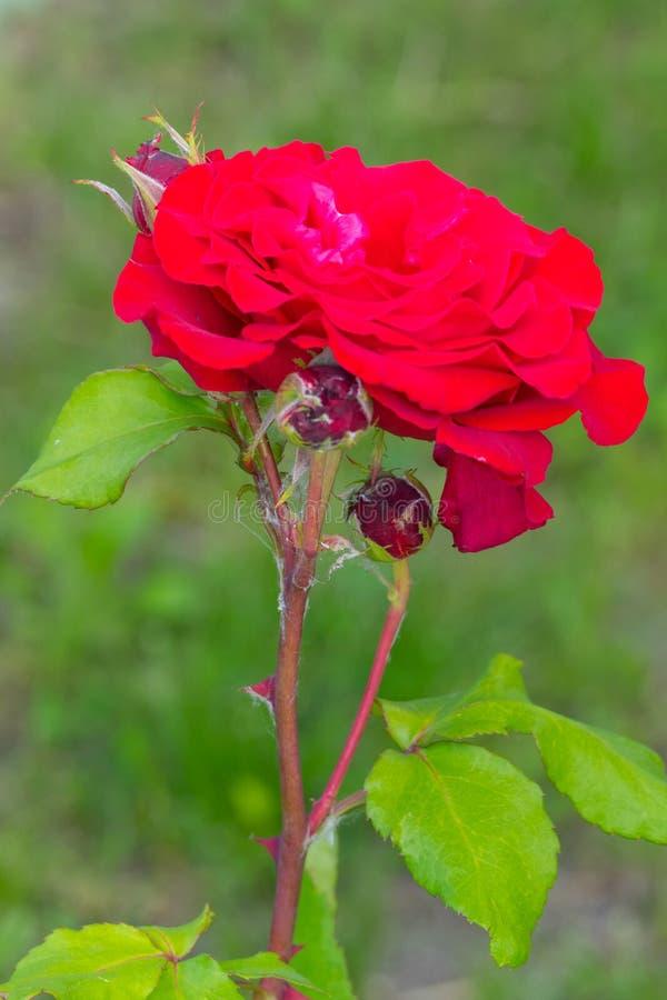 Раскрытый цветок красной розы бархата против предпосылки зеленой травы стоковое изображение rf