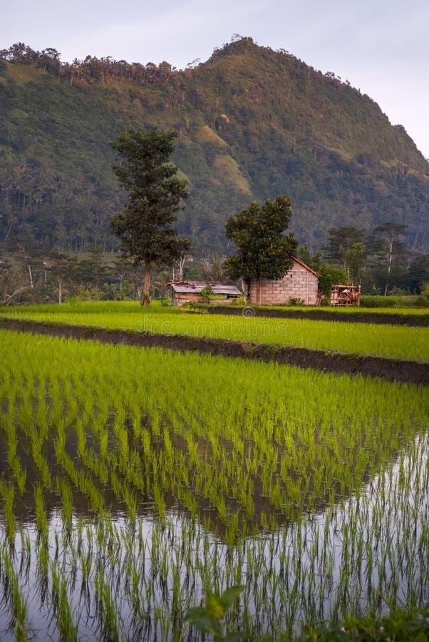Рассвет в полях риса Бали, Индонезии стоковое фото