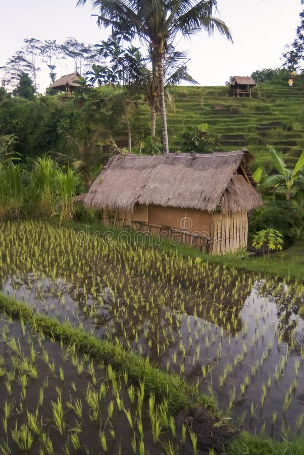 Рассвет в полях риса Бали, Индонезии стоковые изображения rf