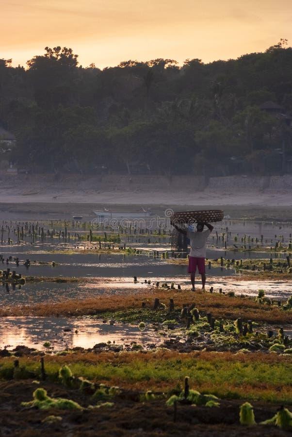 Рассвет в полях риса Бали, Индонезии стоковое изображение rf