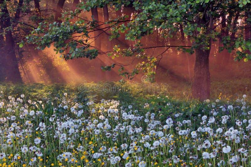 рассвет одуванчиков стоковое фото