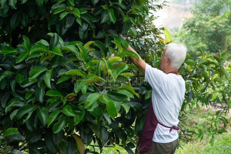 Рассматривать фермера mangoesteen дерево стоковые изображения