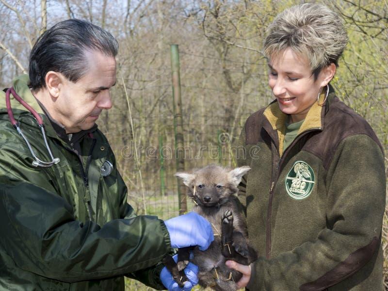 Рассмотрение младенца с гривой волка стоковые фотографии rf