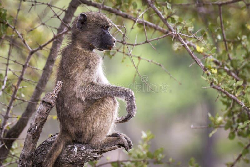 Расслабленная смешная обезьяна стоковые фотографии rf