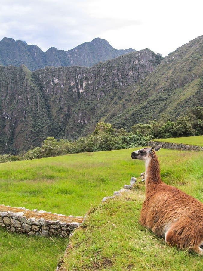 Расслабляющая лама в Machu Picchu стоковое изображение