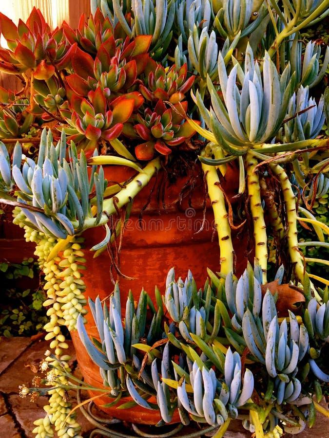 Расслоина Succulents над краем цветочного горшка стоковое изображение rf