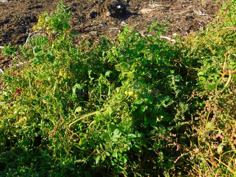Растения помидоров, дикие на пляже на берегу моря стоковая фотография