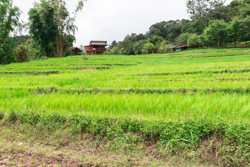 Растет зеленое рисовое дерево на рисовых полях стоковое изображение