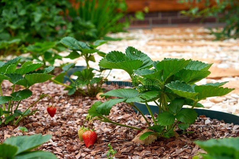 Растет и зреет клубники Клубники зрея в саде Ветвь клубники с зреть и растущие клубниками стоковые фотографии rf