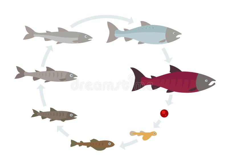 Растет лосось Поворот по кругу Жизненный цикл индустрии аквакультуры иллюстрация штока