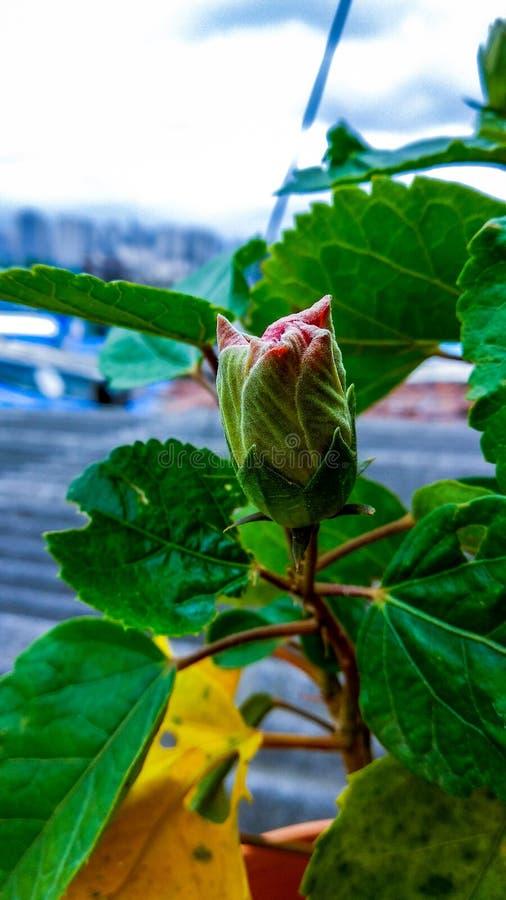 Расти бутона цветка гибискуса стоковое фото