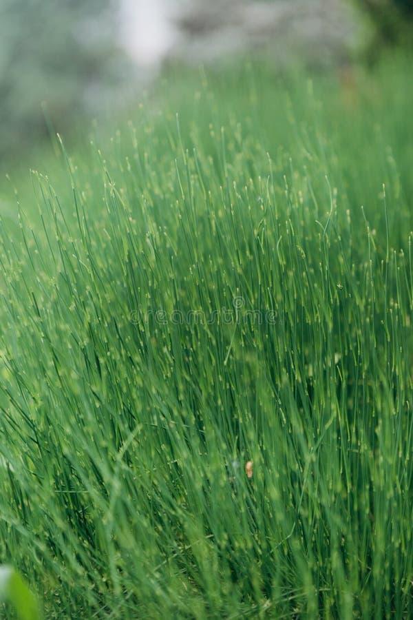 расти естественной лужайки зеленой травы предпосылки свежий стоковая фотография rf