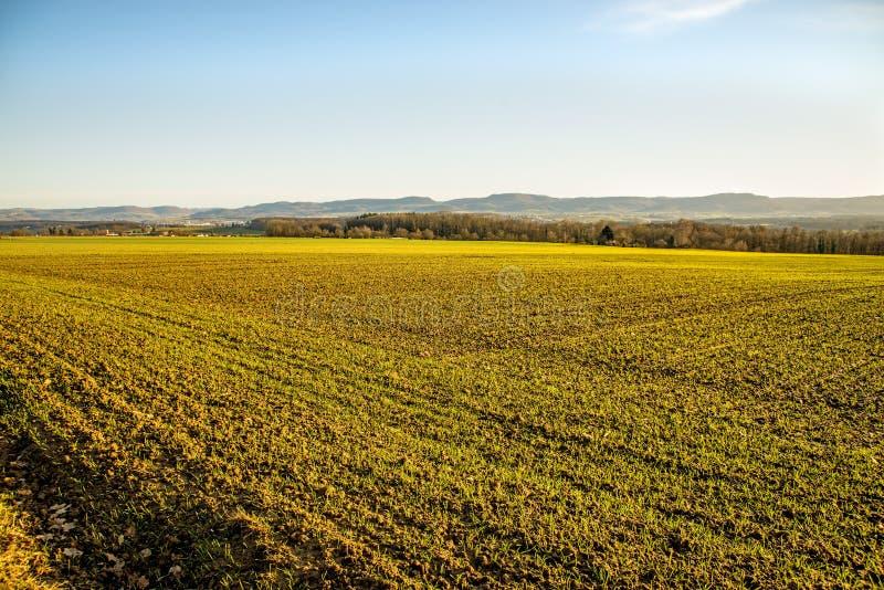 Расти озимой пшеницы стоковое фото rf