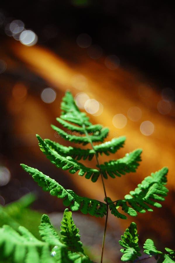 расти папоротника стоковое изображение