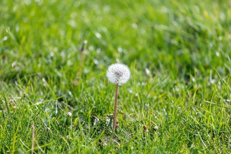 Расти цветка одуванчика среди травы весны, детали макроса одуванчика, вверх по близкому одуванчику стоковая фотография rf