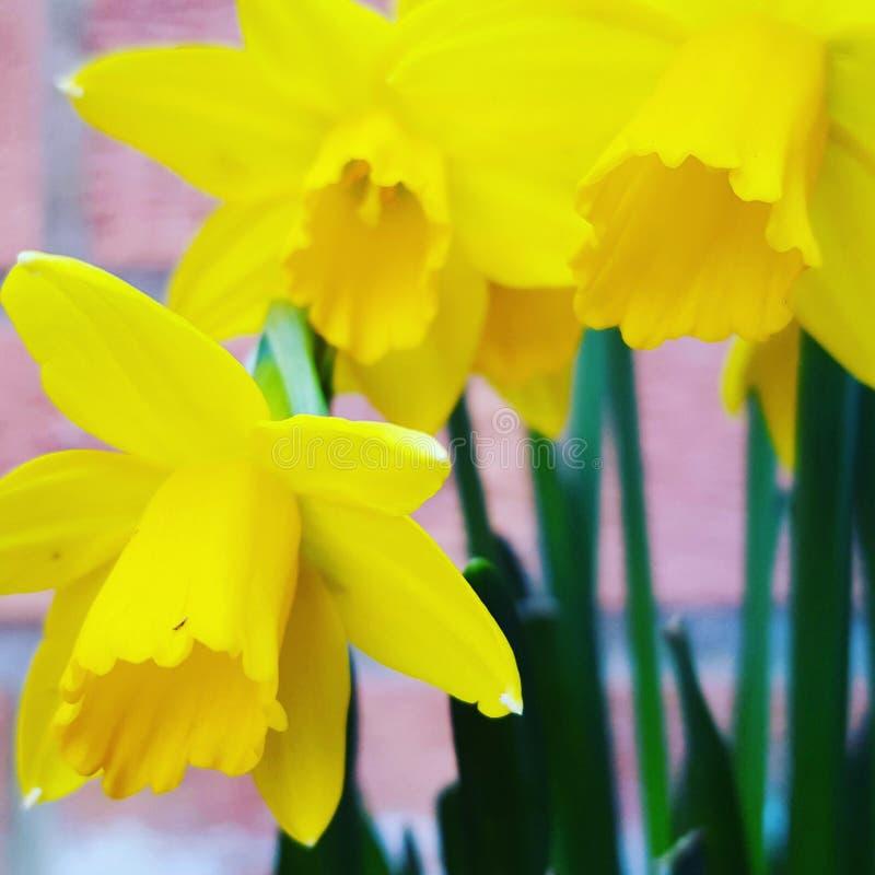 Расти Daffodils стоковая фотография rf