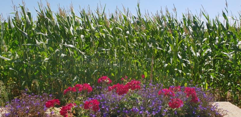 Расти Sweetcorn стоковое изображение rf