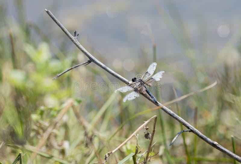 Растрепанное, который подогнали luctuosa Libellula Dragonfly шумовки вдовы садилось на насест стоковые фотографии rf