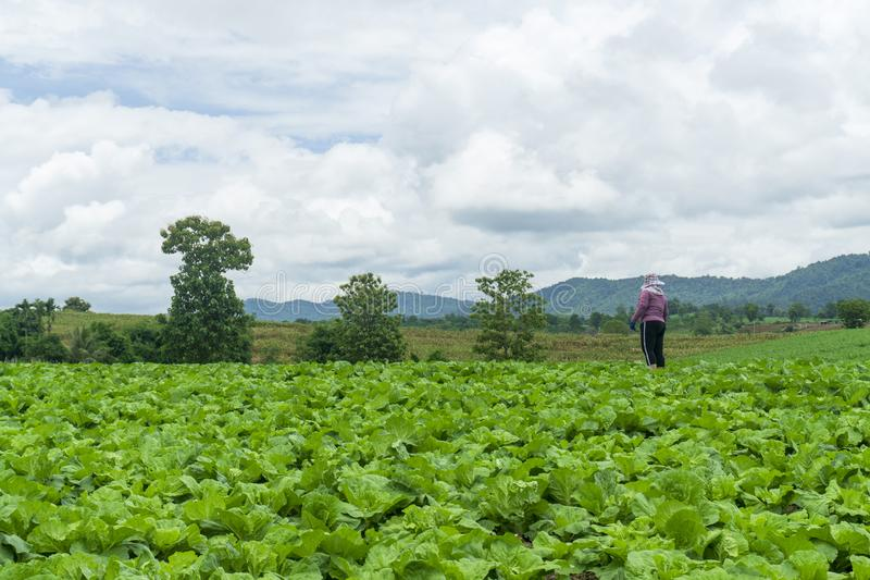 Растут китайская капуста в полностью, который выросли графике овоща, капусте, китайской капусте завода на горе, Таиланде стоковое изображение
