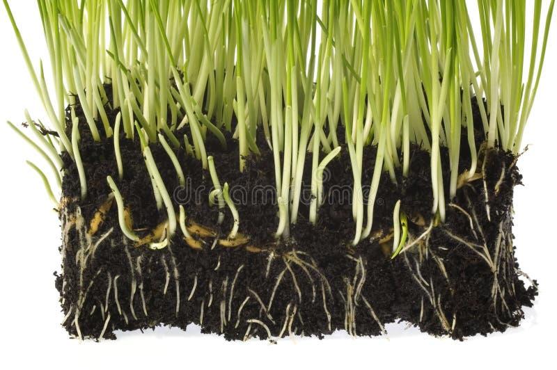 растущая весна почвы заводов стоковая фотография rf