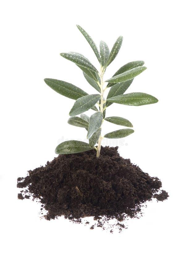 растущая прованская почва стоковое фото
