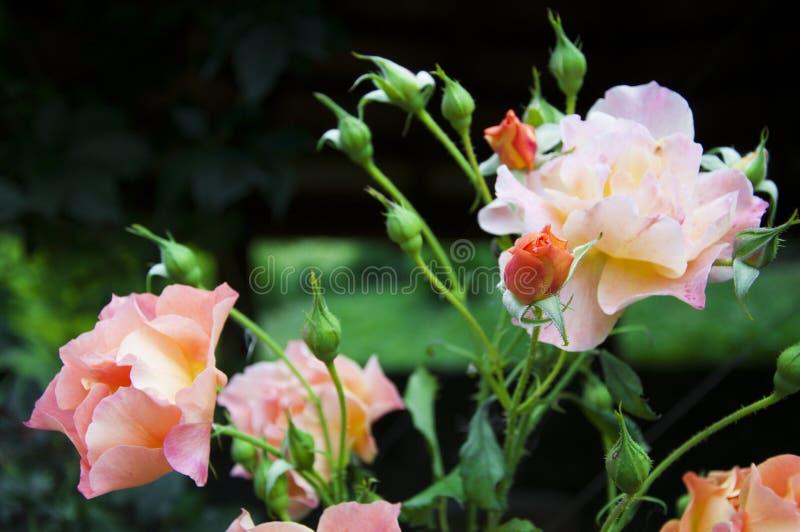 Растущая роза стоковые изображения rf