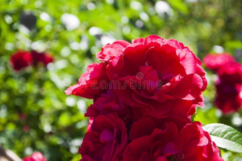 Растущая роза стоковые фото