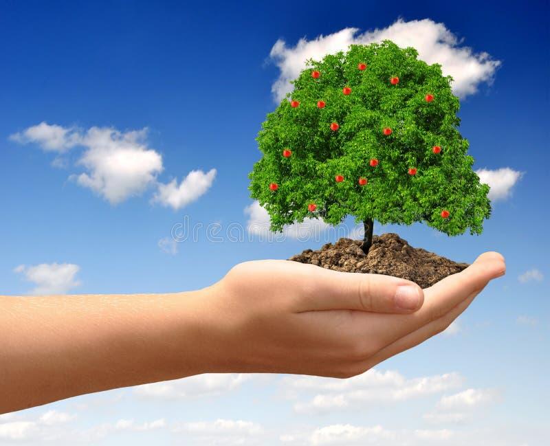 Растущая яблоня стоковые фото