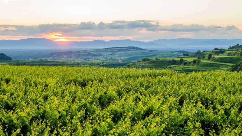 Растущее вина стоковое фото rf